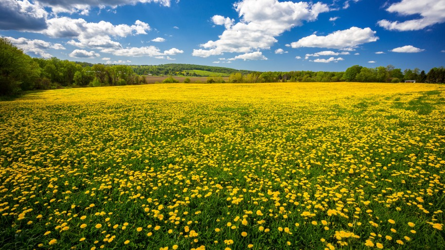 Dandelion-field-flowers-spring-blue-sky-and-white-cloud-beautiful-desktop-wallpaper-Hd-915x515.jpg